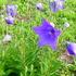 キキョウ(紫花)
