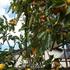 果実のトピ