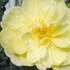 丈夫で、夏でもタフに咲くバラを紹介し合いませんか