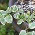 大好き!斑入り植物(木や草花編)