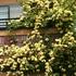 モッコウバラが咲きました