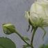 2010年春バラはどんな感じですか?