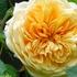 秋バラの季節ですね、ベランダやお庭に咲いた画像を、お気軽にアップしてくださいませんか