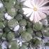 只今開花中のコノフィツム