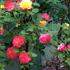 どんなバラがお気に入りですか?
