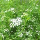 コリアンダー (パクチー)  1年草  植え...
