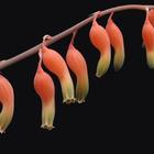 ガステリアの花。 Gasteria ellaphieae