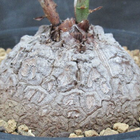 Afro亀甲竜 ニューカマー
