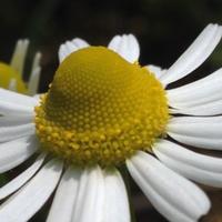 花粉の構造が美しいです。カモミール。