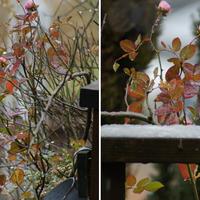 🏠今日の庭から・・・🌺🌳 今日の🌹『花車』
