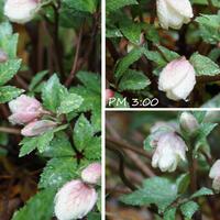 🏠今日の庭から・・・🌺🌳 雨にも負けず、...