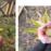 『パレアナ』開花