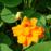 オレンジ花は八重咲き