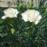 地植え組 白花