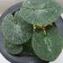 古典園芸植物:細辛 2019
