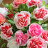 2020庭の花
