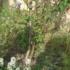 桃の木のひこばえ?