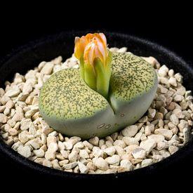 リトープス 緑弁天玉