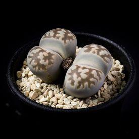 リトープス 琥珀玉