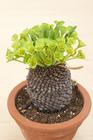 ユーフォルビア(多肉植物)