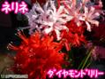 ミラクルフルーツ体験♪11/2(日)、11/3(月・祝)