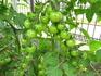 トマト 写真