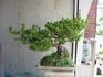 楽しく盆栽! 五葉松