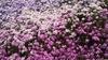 芝桜のグラデーション
