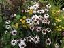 元気な花 アフリカンアイズ