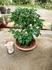 『常盤柿』の盆栽を作りたい!