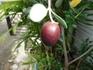 オリーブ盆栽に挑戦!
