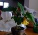 『アブチロン』を盆栽にしたい!