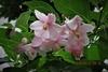 実・花の小盆栽は、『エゴノキ』がいい。