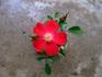 姫バラ『赤頭巾』は、交配種か?