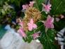 山アジサイ『七段花』の苔玉盆栽づくり
