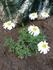 2年目の四季咲きコスモス