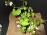 ヤブテマリ『四季咲き』は、蝶の様。
