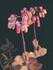 カランコエ 胡蝶の舞