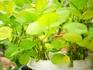 黒豆の枝豆 緑化・摘芯・断根