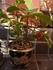 苔玉、小鉢の『十両』盆栽づくり
