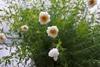 プレゼントの鉢植えを次の年にも咲かせたい