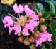 『サルスベリ』の小品盆栽づくり