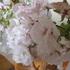 桜の挿し木は成功するか?