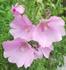 種播きで育成マロウの花🌼