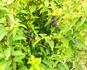 3年越しに紫式部栽培