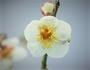 甲州野梅の花、匂い、挿木は、体感できるか?