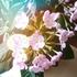 群馬登坂園芸さまの冬に咲く花ルクリア・ココ