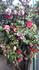 椿の取り木と盆栽