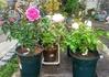 秋薔薇🌹花付&剪定苗の植え替え