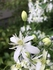 クレマチス仙人草を挿し木で増やして鉢植えで育てる